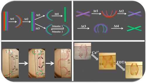 4D hydrogel-based materials can undergo multiple conformational shape changes in response to environmental cues